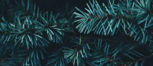 South Dakota Evergreen