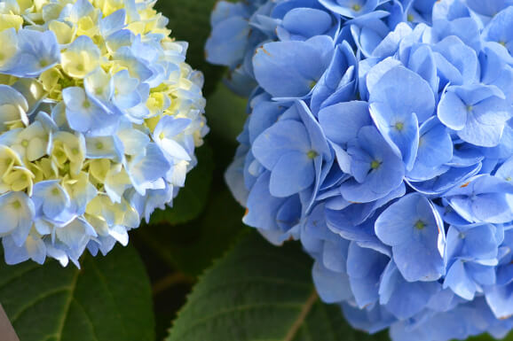 Free Event: The Many Faces of Hydrangeas